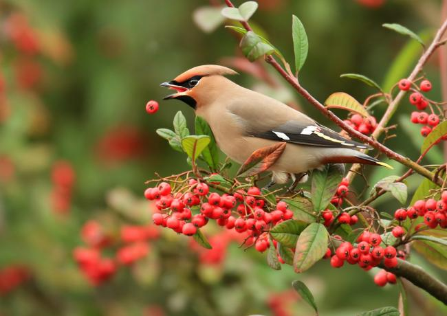A waxwing trying its best to hang on to its berry lunch! Picture: Jon Hawkins/Surrey Hills Photography