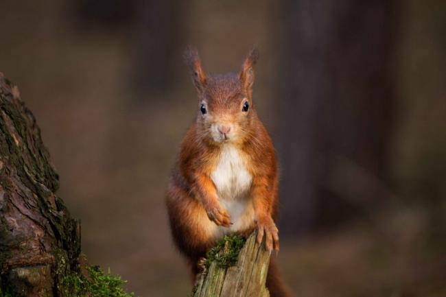 Under threat: There is a plea to the public to help conserve the population of red squirrels